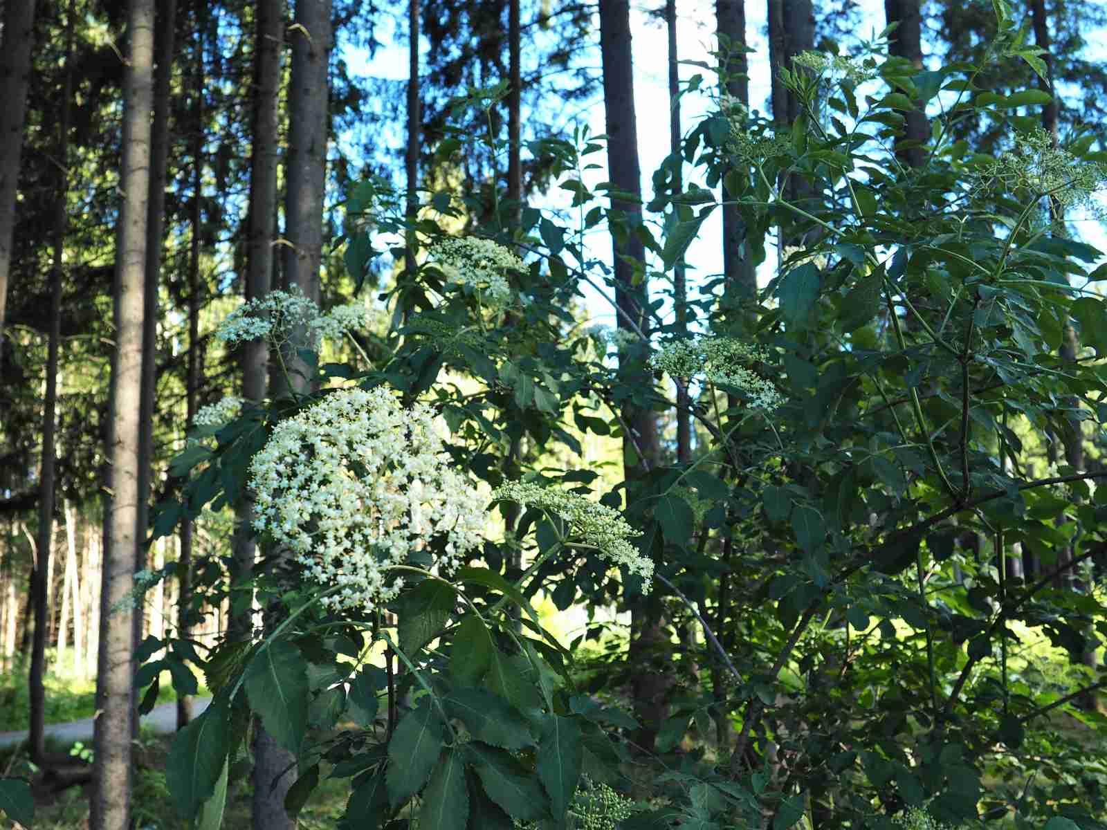 Holunderblüten in der Natur